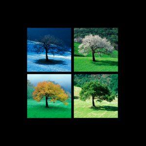 ciliegio-quattro-stagioni